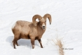 Bighorn-Sheep;One;Ovis-canadensis;Sheep;Snow;Winter-Yellowstone-National-Park;Ye