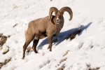Bighorn-Sheep;Forage;Mountains;Ovis-canadensis;Sheep;Snow;Wild-Animal;Winter;Win