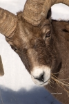 Bighorn-Sheep;Ovis-canadensis;Sheep;Snow;Rocks;Winter;Foraging;Climbing;Horns;Cu