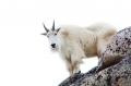 Mountain-Goat;Rocky-Mountain-Goat;Oreamnos-americanus;One;one-animal;feather;fea