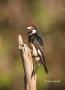Acorn-Woodpecker;Woodpecker;Melanerpes-formicivorus;One;one-animal;avifauna;bird