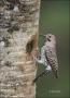 Northern-Flicker;Flicker;Nest-Hole;Male;Florida;Southeast-USA;Colaptes-auratus;o