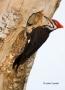 Woodpecker;Dryocopus-pileatus;Pileated-Woodpecker;One;one-animal;avifauna;bird;b