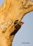 Woodpecker;Dryocopus-pileatus;Pileated-Woodpecker;Parent;Chick;bond;bonding;fami